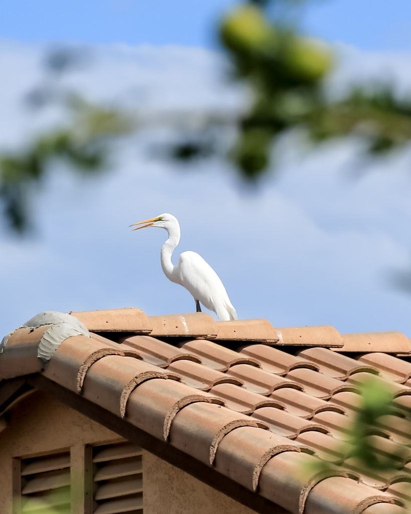 White Great Egret