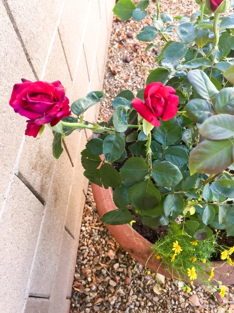 Oklahoma rose.